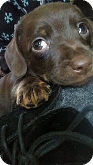 Dachshund/Chihuahua Mix Puppy for adoption in Phoenix, Arizona - Odie