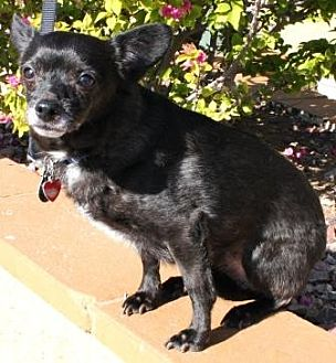 Chihuahua Mix Dog for adoption in Gilbert, Arizona - Dax