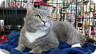 Domestic Shorthair Cat for adoption in Columbus, Ohio - Stubbs