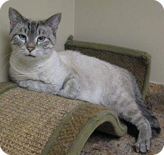 Domestic Shorthair Cat for adoption in Gary, Indiana - Dusty
