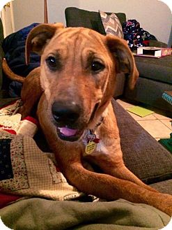 Hound (Unknown Type) Mix Dog for adoption in Seahurst, Washington - Rosebud