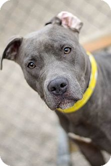 Pit Bull Terrier/American Staffordshire Terrier Mix Dog for adoption in Toledo, Ohio - Melrose