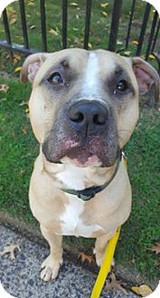 Terrier (Unknown Type, Medium) Mix Dog for adoption in Bloomfield, New Jersey - Thunder
