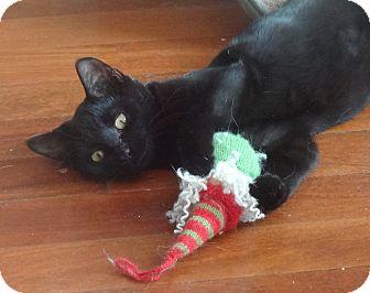 Bombay Kitten for adoption in New York, New York - RONRON&JOLIE-Purritos'16