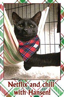 Domestic Shorthair Kitten for adoption in East Brunswick, New Jersey - Hansen