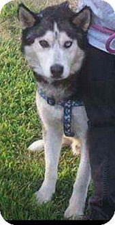 Siberian Husky Dog for adoption in Allison Park, Pennsylvania - Albert