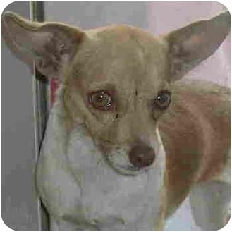 Chihuahua Dog for adoption in Tucson, Arizona - Andie