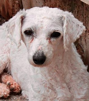 Bichon Frise Dog for adoption in Memphis, Tennessee - Jillian
