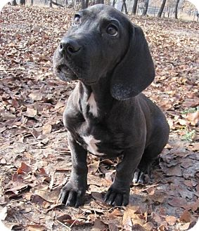 Great Dane/Basset Hound Mix Puppy for adoption in Pipe Creed, Texas - Betsey