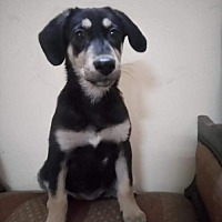 Adopt A Pet :: Lily Baby Egypt - NYC, NY