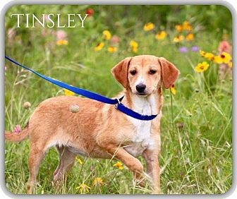 Terrier (Unknown Type, Small) Mix Puppy for adoption in DeForest, Wisconsin - Tinsley