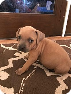 American Pit Bull Terrier Mix Puppy for adoption in Belleville, Michigan - Rowdy