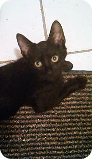 Bombay Kitten for adoption in New York, New York - Alex
