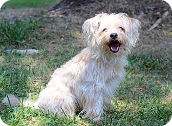 Yorkie, Yorkshire Terrier Mix Puppy for adoption in Waldorf, Maryland - Cody