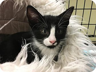 Domestic Shorthair Kitten for adoption in Pendleton, New York - Andrushka