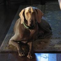 Adopt A Pet :: Bremmer - Manassas Park, VA