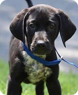 Labrador Retriever/Pointer Mix Puppy for adoption in CUMMING, Georgia - Jefferson