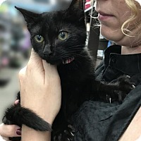 Bombay Kitten for adoption in Brooklyn, New York - 4 AMazingly Gorgeous Bombay mix Kittens