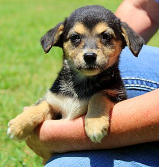 Beagle/Terrier (Unknown Type, Medium) Mix Puppy for adoption in Southbury, Connecticut - Chelsey ~ meet me!