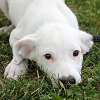 Adopt A Pet :: Bobby - Joliet, IL