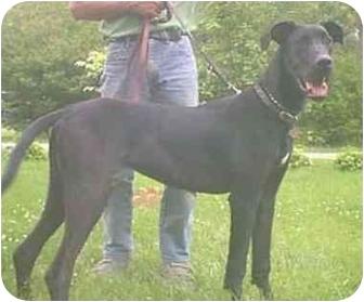 Great Dane Puppy for adoption in Steger, Illinois - Roger Dodger