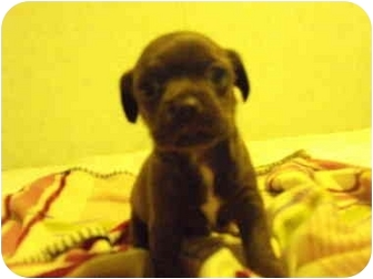 Terrier (Unknown Type, Small) Mix Puppy for adoption in Wilminton, Delaware - Terrier pup #8