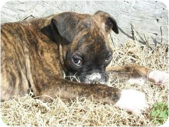 Boxer Puppy for adoption in Owensboro, Kentucky - Marty