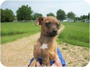 Italian Greyhound/Chihuahua Mix Puppy for adoption in Lonedell, Missouri - texas c