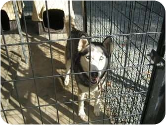 Husky Mix Dog for adoption in Henderson, North Carolina - Silky