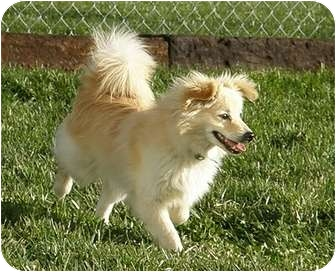 Pomeranian Mix Puppy for adoption in Meridian, Idaho - Taaz