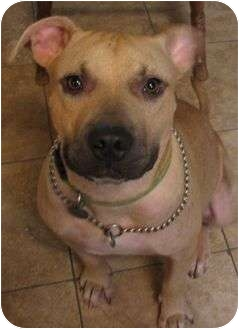 American Pit Bull Terrier Dog for adoption in Muldrow, Oklahoma - Buddy