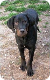 Mastiff/Hound (Unknown Type) Mix Puppy for adoption in Austin, Texas - Briggs