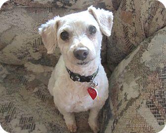 Poodle (Miniature) Mix Dog for adoption in Yorba Linda, California - Sheldon