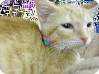Siamese Kitten for adoption in Fairborn, Ohio - cute red male