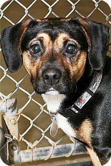 Boxer Mix Dog for adoption in Kalamazoo, Michigan - Crusader