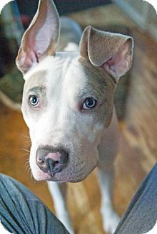 Pit Bull Terrier Mix Dog for adoption in Hillsborough, New Jersey - ZEPPELIN