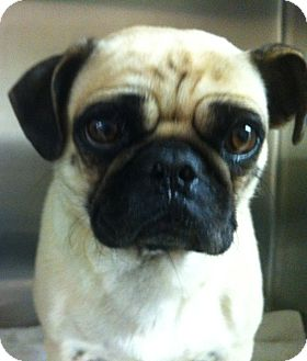 Pug Dog for adoption in Baltimore, Maryland - Mitzy