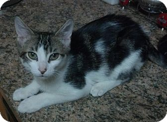 Domestic Shorthair Cat for adoption in Daytona Beach, Florida - Patches