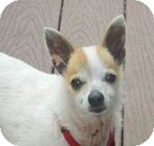 Pomeranian/Chihuahua Mix Dog for adoption in San Diego, California - Jason