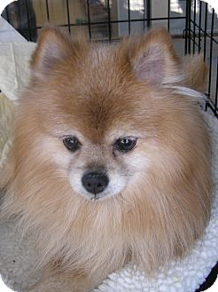 Pomeranian/Pomeranian Mix Dog for adoption in Las Vegas, Nevada - Tiny Tim