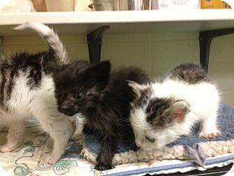 Domestic Mediumhair Kitten for adoption in South Haven, Michigan - Sam