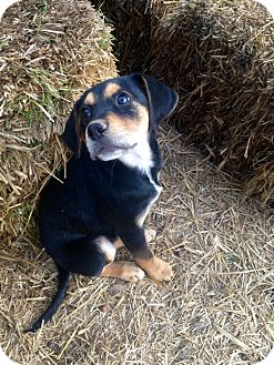 Beagle Mix Puppy for adoption in Hartford, Connecticut - Truman