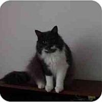 Adopt A Pet :: Spitfire - Montreal, QC