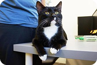Domestic Shorthair Cat for adoption in Houston, Texas - Clyde