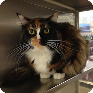 Domestic Longhair Cat for adoption in Gilbert, Arizona - Sookie