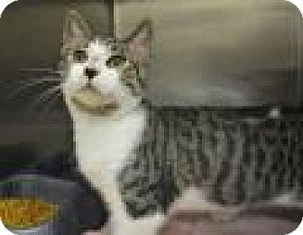 Domestic Shorthair Cat for adoption in Jacksonville, Arkansas - Bill