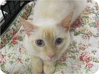 Siamese Cat for adoption in The Colony, Texas - Inara