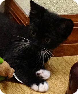 Domestic Shorthair Cat for adoption in Orlando, Florida - Tammy