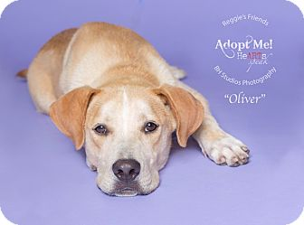 Labrador Retriever Mix Dog for adoption in Portland, Oregon - Oliver