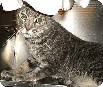 Domestic Shorthair Cat for adoption in El Cajon, California - Bandit